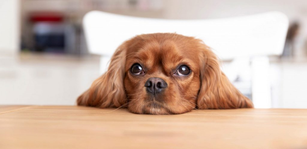 How to Properly Give Your Dog CBD Oil